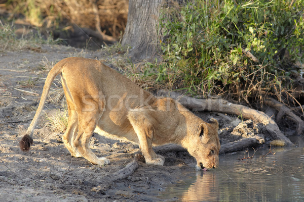lioness drinking Stock photo © Forgiss