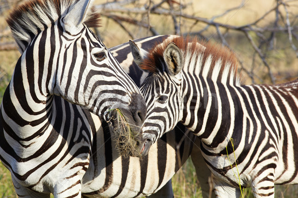 зебры южный Африка трава природы черный Сток-фото © forgiss
