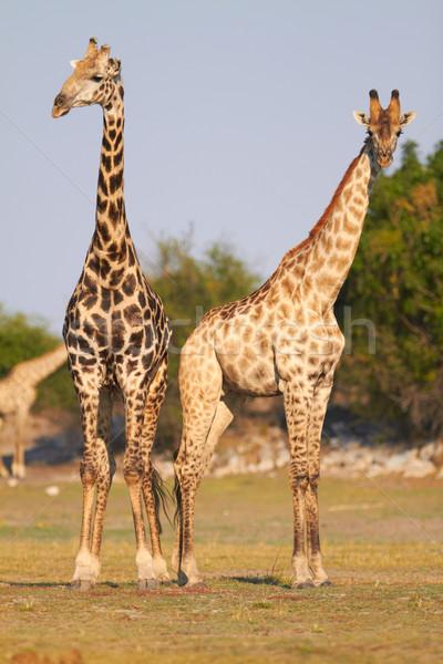 Afrikai zsiráfok pár áll bankok folyó Stock fotó © forgiss