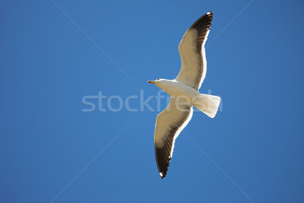 Seagull #16 Stock photo © Forgiss