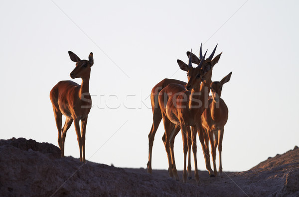 Impala on ridge Stock photo © Forgiss