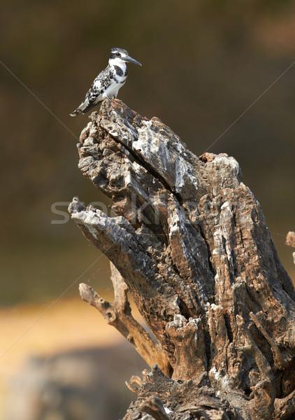 Gigante martim-pescador árvore peixe peito pássaro Foto stock © Forgiss