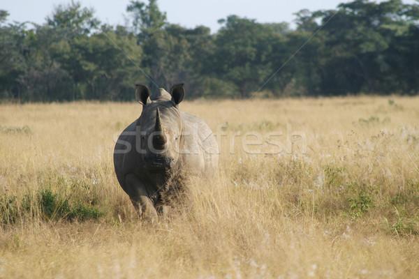 Neushoorn staren neushoorn gras bomen dier Stockfoto © Forgiss