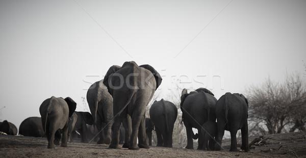Africano elefantes rebanho bancos rio Botswana Foto stock © Forgiss