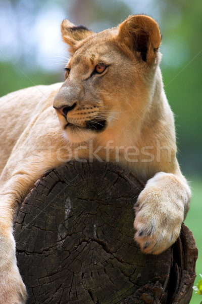 White Lion on a tree stump Stock photo © Forgiss