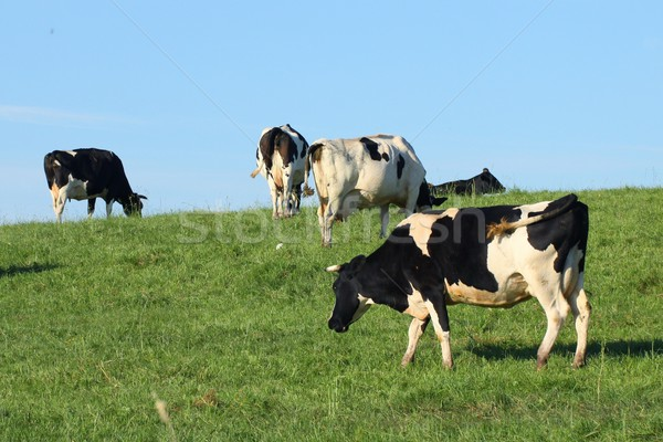 Cows  Stock photo © Fotaw