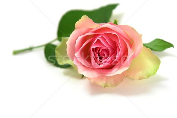 rose Stock photo © Fotaw