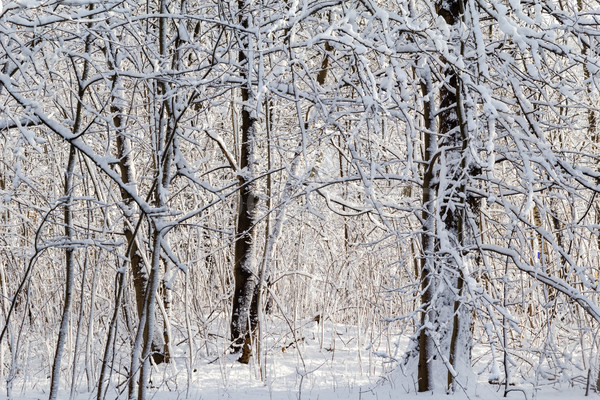 Winter landscape snow thicket forest Stock photo © fotoaloja