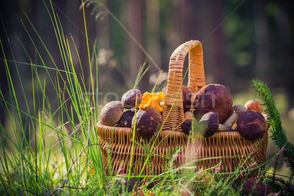 Basket full edible mushrooms forest Stock photo © fotoaloja