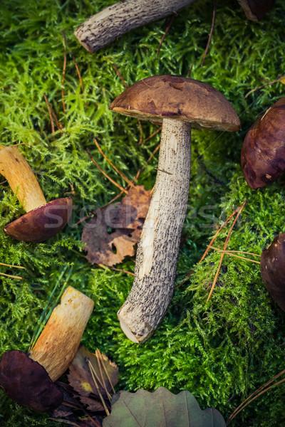 Edible mushrooms piled moss forest Stock photo © fotoaloja