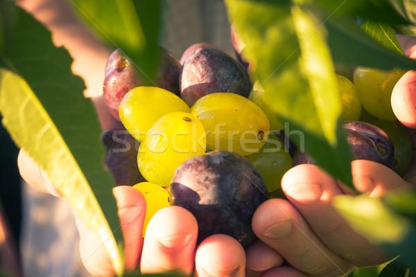 Fruits hands plums grapes light sun Stock photo © fotoaloja