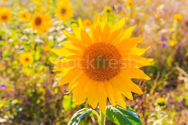 Bereich Sonnenblumen Sommer schönen gelbe Blume Stock foto © fotoaloja
