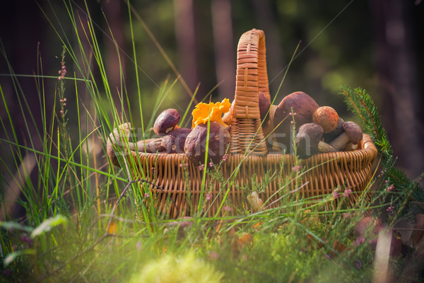 Fall basket full edible mushrooms forest Stock photo © fotoaloja