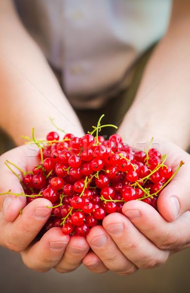 Frutti rosso ribes mani uomo Foto d'archivio © fotoaloja