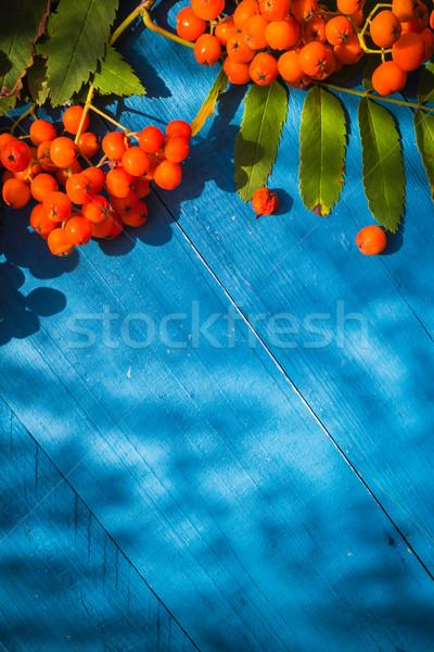Autumnal background rowan fruits blue wooden board Stock photo © fotoaloja