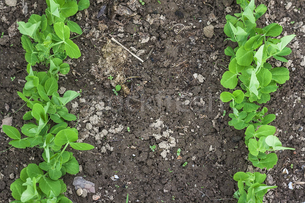 cultivation patch garden green peas spring Stock photo © fotoaloja