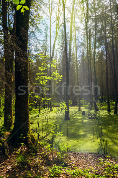 forest landscape panorama view swamp trees forest Stock photo © fotoaloja