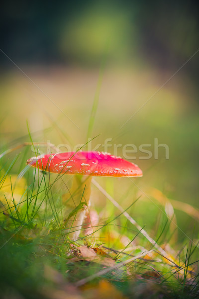 Jesienią muchomor trujący grzyby lasu świetle Zdjęcia stock © fotoaloja