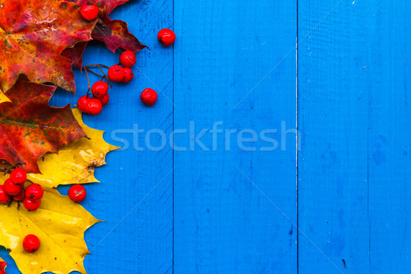 Fall background colour leaves rowan fruit on blue boards Stock photo © fotoaloja
