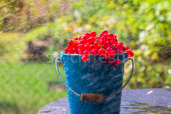 Kırmızı frenk üzümü meyve kova yaz yağmur Stok fotoğraf © fotoaloja