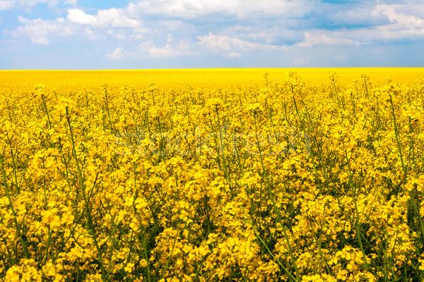 field rape landscape panorama view nature Stock photo © fotoaloja