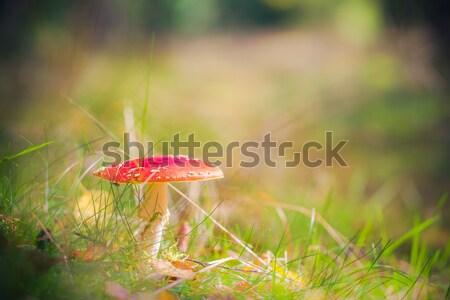 Autumn toadstool poisonous mushroom forest litter Stock photo © fotoaloja