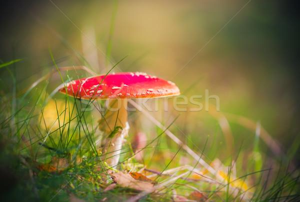 Najaar vergiftige paddestoel giftig champignon bos licht Stockfoto © fotoaloja