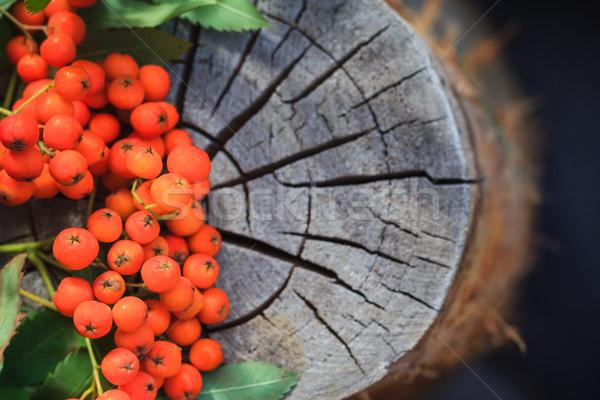 Fall background rowan fruits old stump Stock photo © fotoaloja