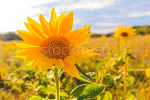 области подсолнухи лет красивой желтый цветок Сток-фото © fotoaloja