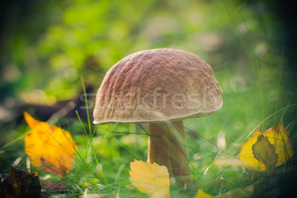 Fall mushroom forest grass sun Stock photo © fotoaloja