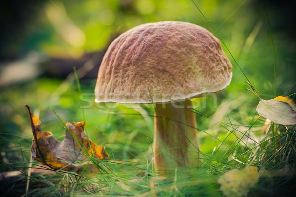 Fall mushroom forest grass sun Stock photo © fotoaloja