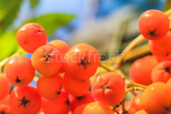 Closeup autumnal fruits rowan Stock photo © fotoaloja