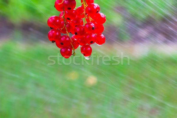 Kırmızı frenk üzümü meyve su yaz meyve Stok fotoğraf © fotoaloja