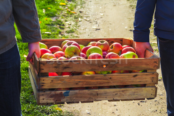 Autumn harvest apples wooden crate box carried people hand Stock photo © fotoaloja