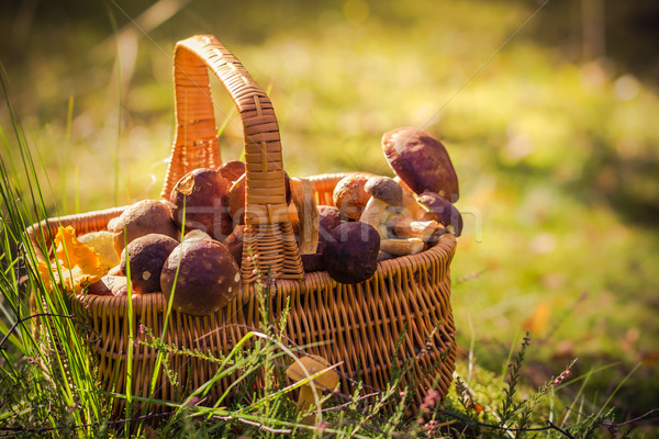 Stock photo: Basket full edible mushrooms forest