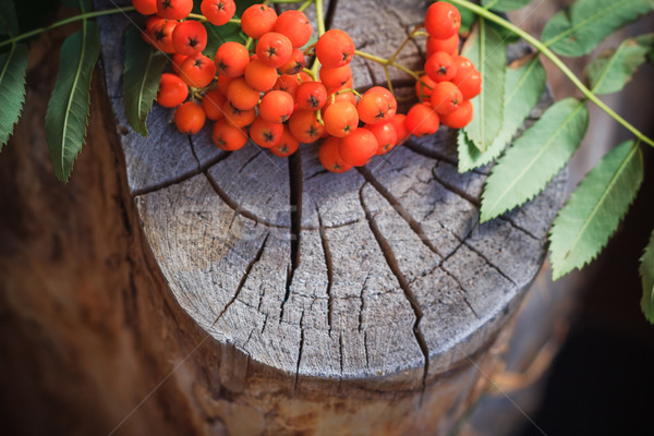 Fall background rowan fruits old stump Stock photo © fotoaloja