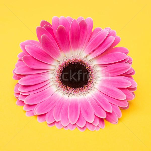 美 ピンクの花 黄色 かわいい 花 春 ストックフォト © fotoduki