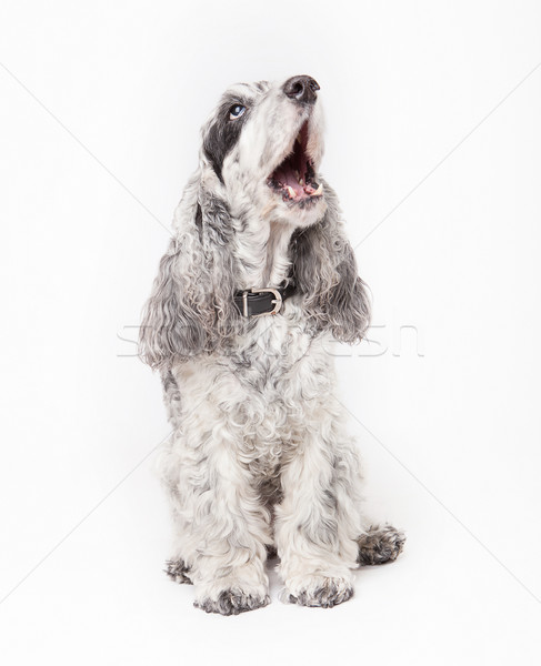 Zwarte grijs hond huisdier gelukkig achtergrond Stockfoto © fotoduki