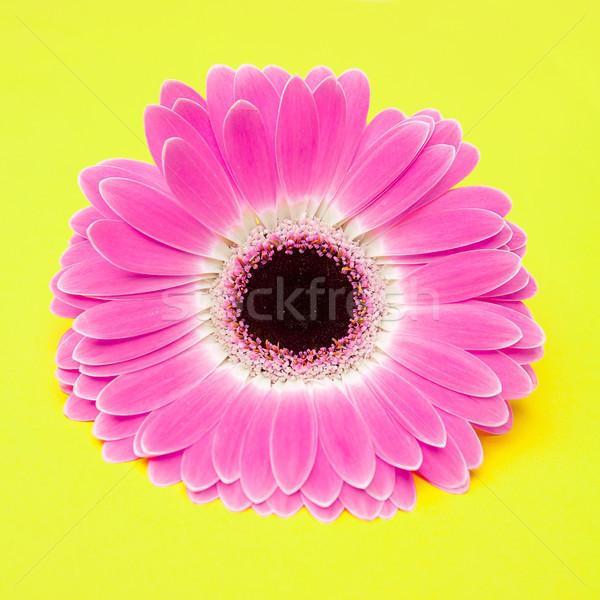 cute pink flower on yellow background Stock photo © fotoduki