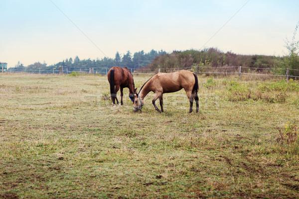 two brown horse on farm Stock photo © fotoduki