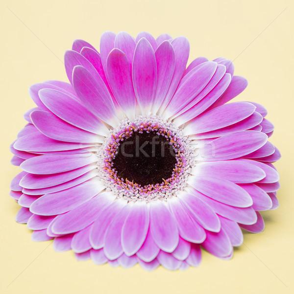 beauty  purple flower on umber background Stock photo © fotoduki