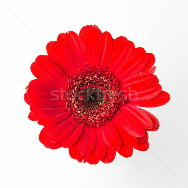 Cute Rood bloem witte schoonheid natuur Stockfoto © fotoduki