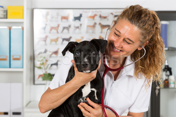 Vet with his dog American Staffordshire Stock photo © fotoedu