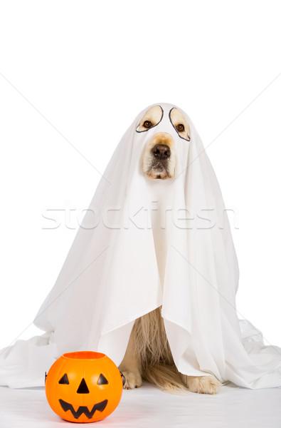 Golden retriever halloween hayalet cadılar bayramı kabak turuncu korku Stok fotoğraf © fotoedu