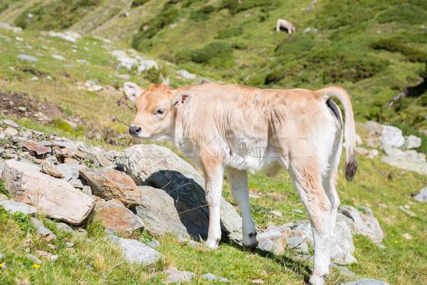 Bruna Pyrenees Stock photo © fotoedu