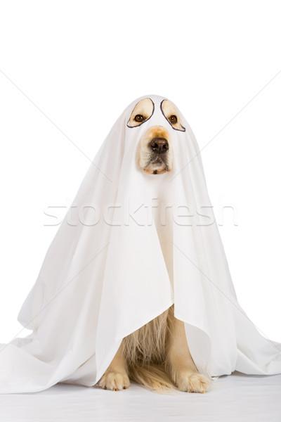 ゴールデンレトリバー 犬 ゴースト オレンジ 恐怖 ホラー ストックフォト © fotoedu