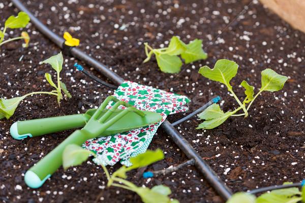 капуста завода органический саду орошение небольшой Сток-фото © fotoedu