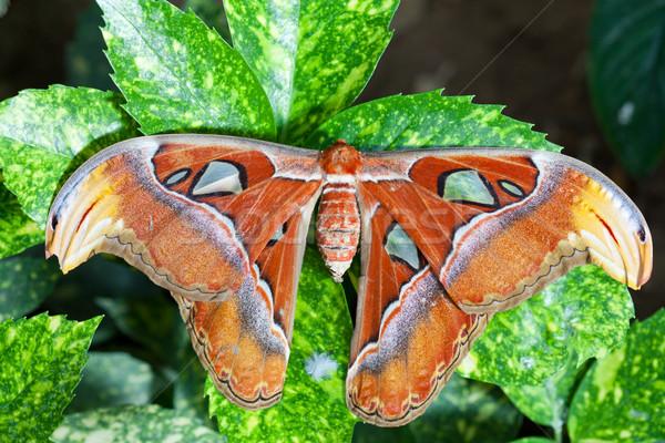 Gigant atlas Motyl na zewnątrz wiosną lata Zdjęcia stock © fotoedu