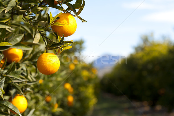 Valencia oranje bomen typisch Spanje boom Stockfoto © fotoedu