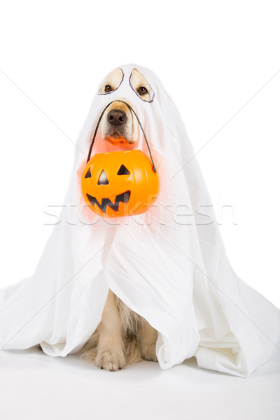 Golden Retriever Halloween Stock photo © fotoedu
